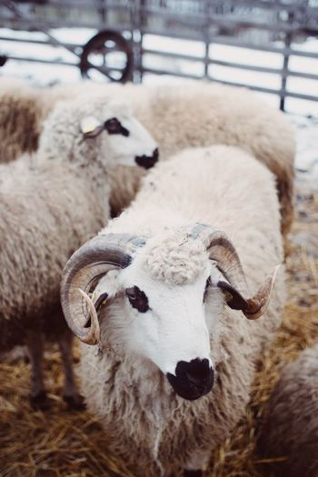 Close-up of sheep on field