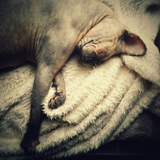 Yoanna Relaxing Sphynx Canadian Sphynx Cat Cat