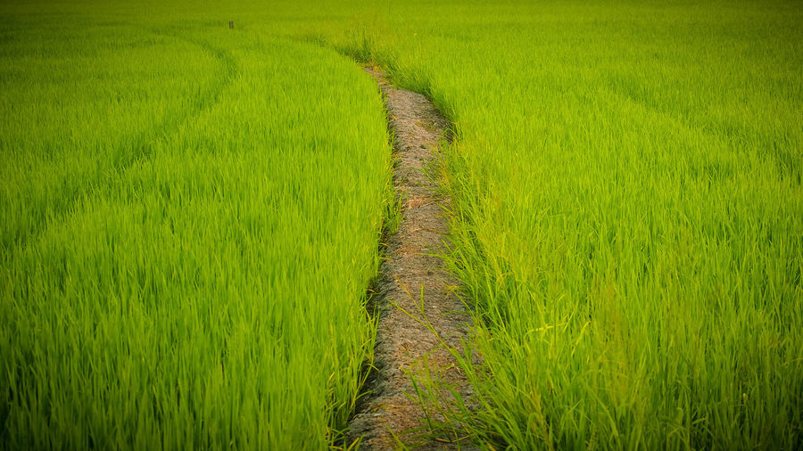 rice farm Rice Rice Paddy Rice - Cereal Plant Rice Field Rice - Food Staple Ricefield Ricefields Ricefield View Ricefarm Ricefarmer Plant Green Color Landscape Growth Rural Scene Grass Agriculture Tranquility No People Beauty In Nature Tranquil Scene Environment Crop  Land Scenics - Nature Nature Day Outdoors Trail Farm Field Cereal Plant