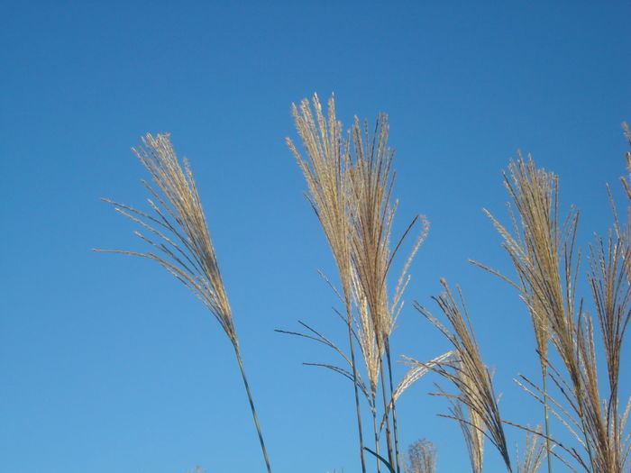 Low Angle View Of Reeds Growing Against Sky