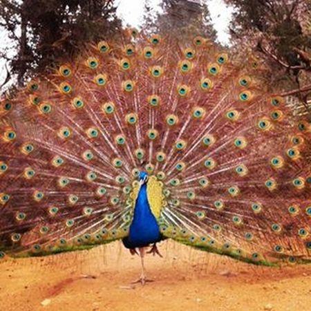 Zoo Pavoreal Animals Animalslover Colores Colors Plumas Plumaspavoreal Ave Bird Zoológico Quilpue Zooquilpue Brillante Shine
