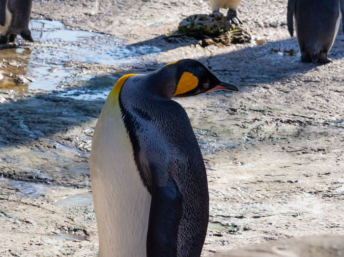 Bird Birdland Animal One Animal Penguin Day Beak Animal Head  Sunlight Close-up Outdoors No People Nature Focus On Foreground King Penguin