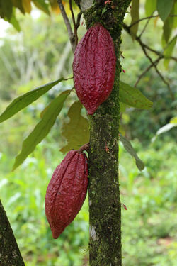 Cacao Tree - Theobroma cacao - Organic cocoa fruit Agriculture Cacao Beans Cacao Pods Green Color Tropical Fruits Branch Cacao Cacao Farm Cacao Fruit Cacao Nut Cacao Plant Cacao Tree Cacaolat Close-up Cocoa Fruit Fruitporn Growth Nature No People Outdoors Plant Red Tree Tropical First Eyeem Photo