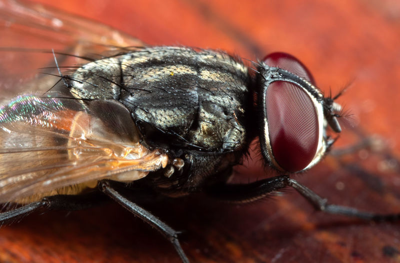 Macro Photography of Housefly on Wooden Floor Animal Themes Animal Insect One Animal Invertebrate Animal Wildlife Eye Animal Body Part Close-up Animals In The Wild Animal Wing Fly Extreme Close-up Animal Eye Macro Housefly Animal Head  Focus On Foreground No People Animal Hair Magnification Small Insect Photography Bug Bugslife Arthropod Arthropoda Macro Photography Macro_collection Macro Nature Macro Insects Healthcare And Medicine Animal Eyes Animal Head  House Fly Virus Diarrhea EyeEm Best Shots EyeEmNewHere EyeEm Nature Lover EyeEm Selects Wooden