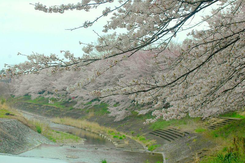 雨が降る前に見に行こう! Relaxing Enjoying Life EyeEm Flower Spring Colours Pink Spring Time Japan Colors Spring 春 EyeEm Nature Lover Blossom 桜 Sakura Cherry Blossoms River View Riverwalk Cloudy