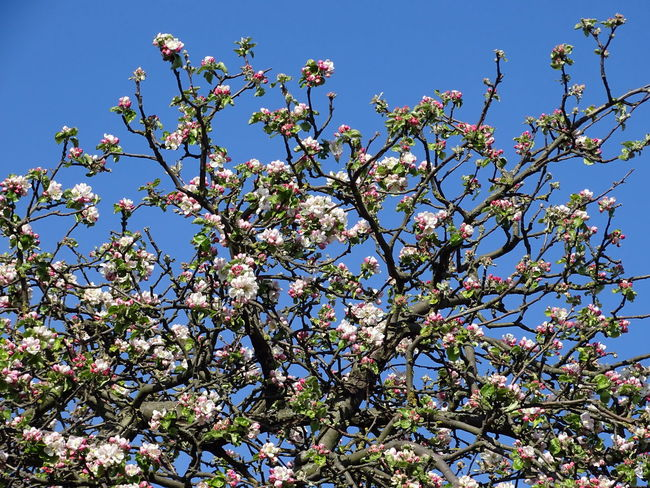 Apple Blossom Apple Tree Beauty In Nature Blooming Blossom Blue Botany Branch Clear Sky Day Fragility Freshness Growth Low Angle View Nature No People Outdoors Petal Spring Springtime Tree