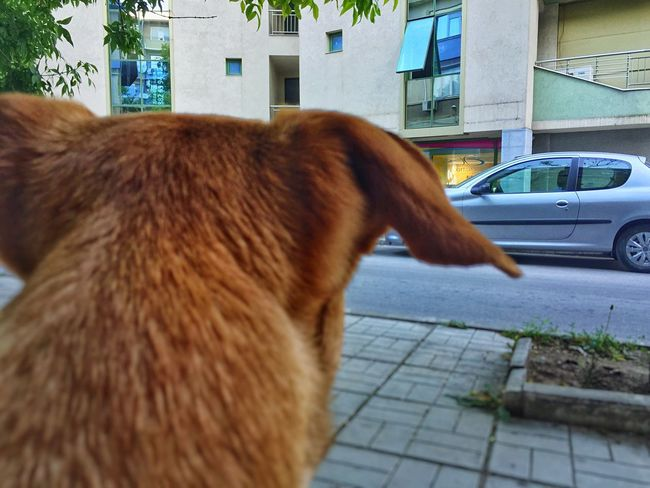 Dog waits for owner Dog Love Doggy Ears Back Patience Waiting