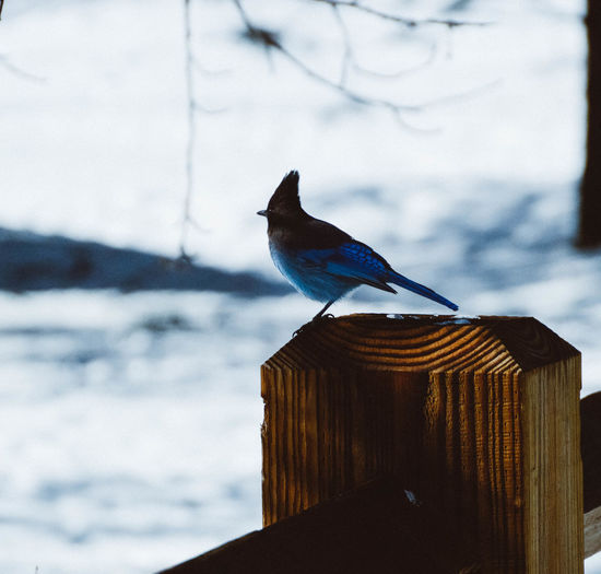 California Stellers Jay Winter Yosemite National Park Animals In The Wild Beauty In Nature Bird Close-up Jay Nature No People Outdoors Perching