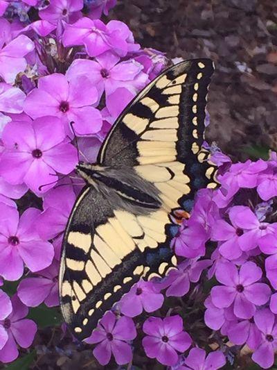 Schwalbenschwanz / Ritterfalter 💕😍😘💕 Butterfly ❤ Focus On Foreground Naturelovers Insect Photography Schmetterling Falter Lovely Daslebenistzukurzumtraurigzusein Sommer ♡ Its A Beautiful Day Tiere♡ Summertime ♥ Hello World Schwalbenschwanz Insektenfotos Wunderful