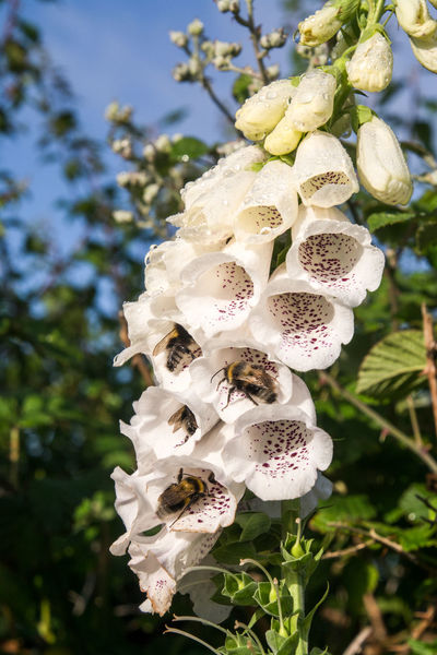 Beauty In Nature Bee Blooming Breakfast Close-up Day Drive Through Flower Flower Head Focus On Foreground Foxglove Fragility Freshness Growth Insect Nature No People Outdoors Petal Plant Tree White Color Wild Flowers Winter