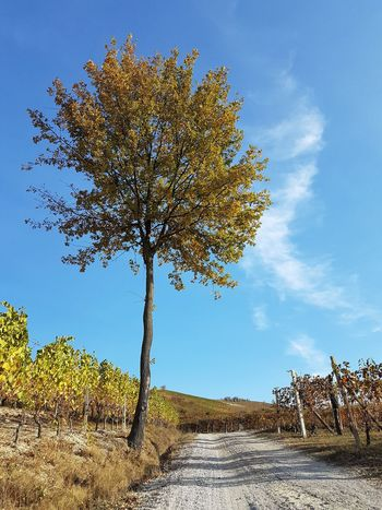 The Way Forward Narrow Road Langhe Tranquility Vineyards In Autumn Autumn Autumn Colors Tree Nature Animal Sky Animal Wildlife Beauty In Nature Outdoors Day Cloud - Sky Landscape No People Scenics
