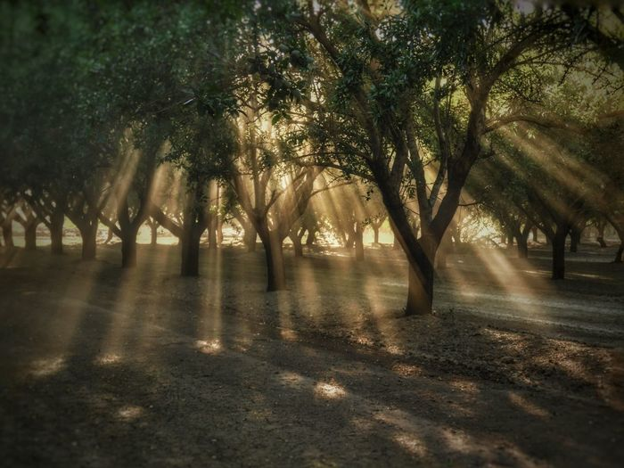 Scenic view of olive trees