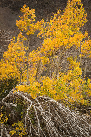 Aspens tree in Autumn Yellow Beauty In Nature Autumn Plant Nature No People Tree Scenics - Nature Outdoors Tranquility Landscape Environment Day Aspen Trees Vertical Composition Eastern Sierras, CA Seasonal Photography Branches