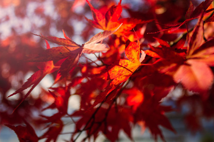 Autumn EyeEmNewHere Japan Nature Travel Autumn Backgrounds Beauty In Nature Branch Change Close-up Fall Maple Leaf Maple Tree Natural Condition No People Orange Color Outdoors Plant Part Red Selective Focus Travel Destinations Tree