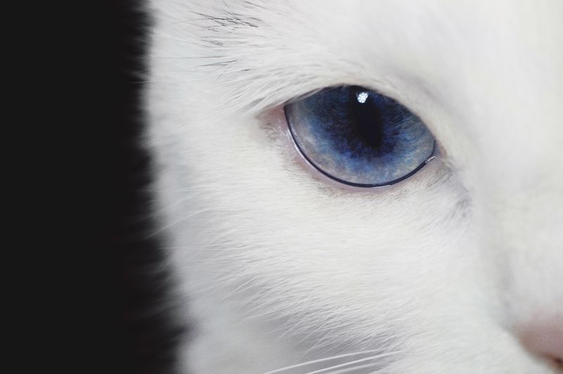 Pets One Animal Domestic Animals Animal Themes Mammal White Color Domestic Cat Looking At Camera Close-up Portrait Indoors  Dog Feline No People Siamese Cat Day