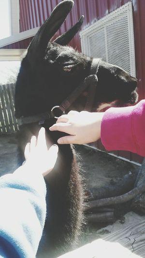 I pet a llama Zoo Llama Friends Petting Animals Animals Springtime Spring Sweatshirt Nice Weather