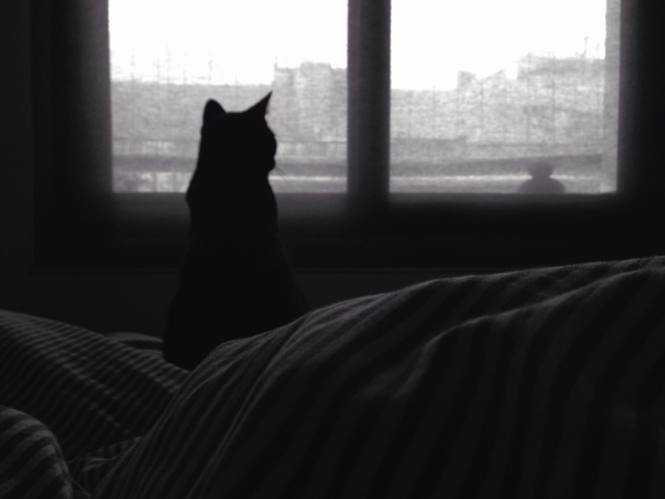 indoors, window, home interior, curtain, pets, domestic animals, relaxation, looking through window, glass - material, transparent, one animal, animal themes, sitting, one person, mammal, resting, sofa, silhouette, domestic room, bedroom