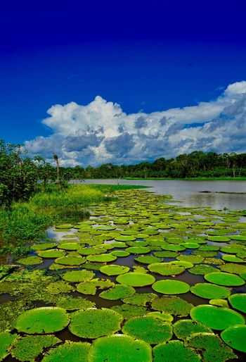 Water lily in lake against sky