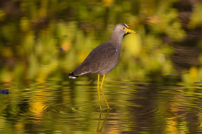 African wattled lapwing Birds Of EyeEm  Bird Photography Birdwatching Wildlife Water African Birds Water Refections In The Water Reflection_collection Wader Reflection Lake