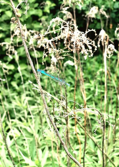 IPhoneography Mothernature Beauty In Nature Blue Lightblue BlueInsects Dragonfly Plant Growth Nature Day No People Beauty In Nature Focus On Foreground Animal Themes Animals In The Wild Outdoors One Animal Insect
