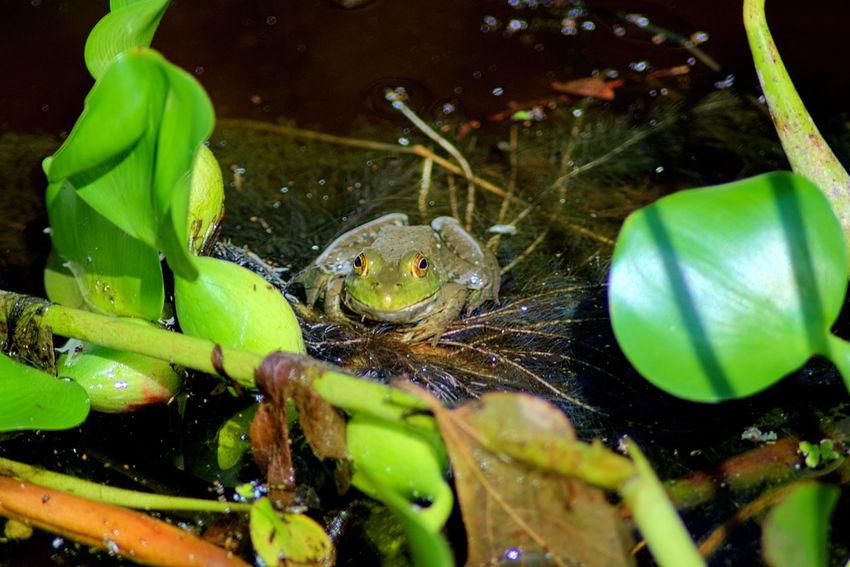 Little Bullfrog Bullfrog Bullfrogs Close-up Frog Frogs Full Frame Green Color Nature Selective Focus Water Wildlife Wildlife & Nature Wildlife Photography Alabama Outdoor Alabama