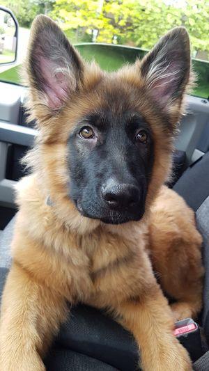 Germanshepherd Dog GSD German Shepherd Gsdpuppy Puppy Dog Love Hello World