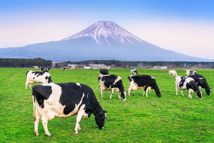Cows eating lush grass on the green field in front of Fuji mountain, Japan. Animal Domestic Animals Mammal Domestic Livestock Animal Themes Mountain Grass Pets Vertebrate Land Field Landscape Group Of Animals Cattle Sky Nature Environment Cow Scenics - Nature No People Outdoors Herbivorous Snowcapped Mountain