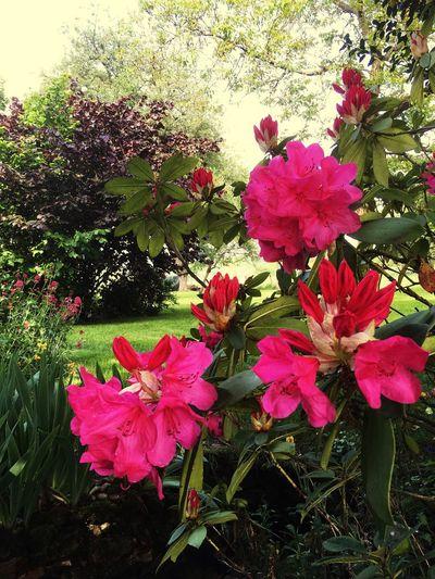 Rhododendron en fleurs Flowering Plant Flower Plant Freshness Beauty In Nature Pink Color Fragility