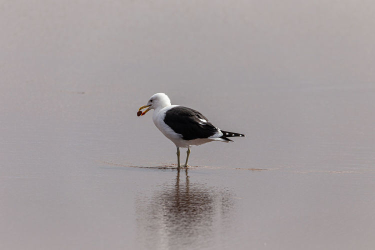 Seagull on a lake