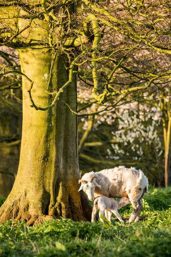 Goats by tree on field