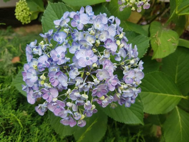 수국 Flower Head Flower Leaf Purple Hydrangea Lilac Close-up Plant Green Color Blooming