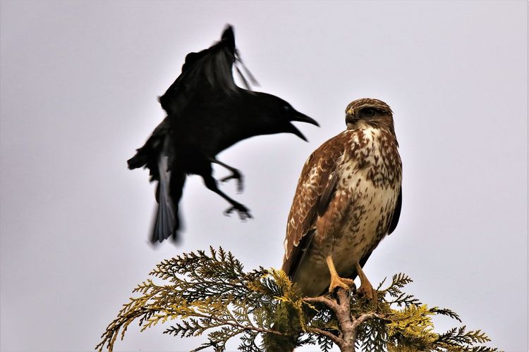 Low angle view of raven attacking bird on tree