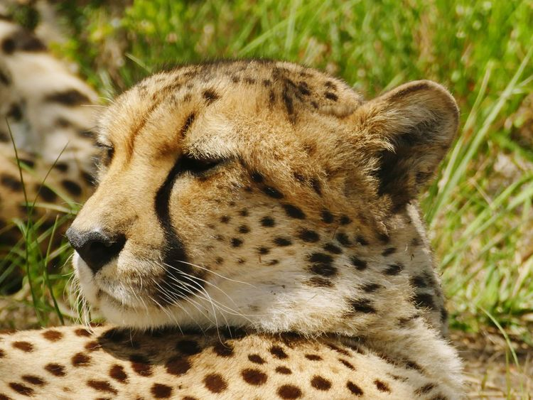 cheetah Panasonic DMC FZ1000 Afrika South Africa Cheetah Safari Beautiful Animal Leopard Mammal Grass