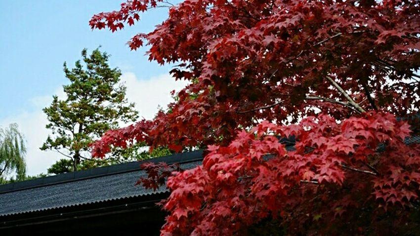 紅葉🍁 Tree Red Beauty In Nature From My Point Of View Walking Around EyeEm Nature Lover No People Outdoors Fall Beauty 秋色 紅葉 Autumn Colors
