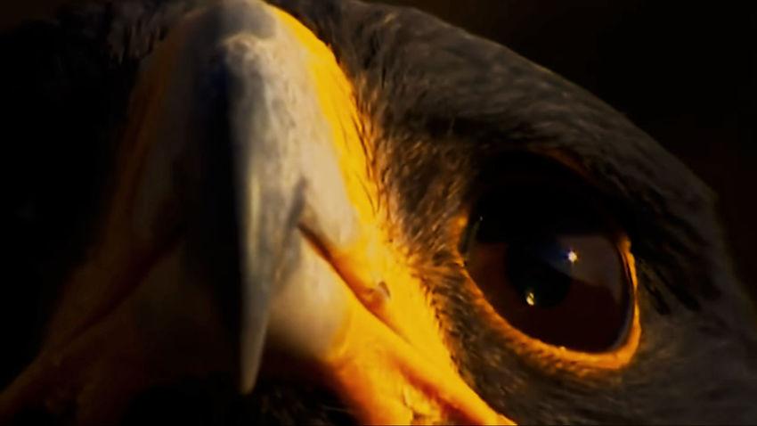 Black Eagle Black Eagles Black Eagle Eagle - Bird Eagle Portrait Eyeball Eyelash Black Background Eyesight Witch Sensory Perception Spooky Close-up