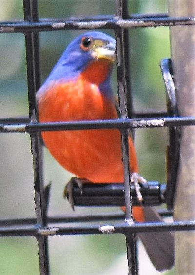 Painted Bunting on bird feeder ~ Jekyll Island Animal Themes Animal Wildlife Animals In The Wild Bird Bird Feeder, Cage Close-up Day Indoors  Nature No People One Animal Painted Bunting Perching Red Blue Yellow And Greed Bird,