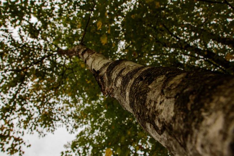 Autumn Autumn Collection Autumn Colors Autumn Leaves Birch Birch Tree Colors Of Autumn Just Looking Up... Looking Up Looking Up! Selective Focus White Birch