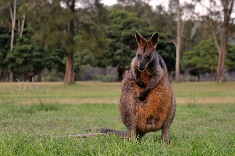 Portrait of wallaby/kangaroo standing in field