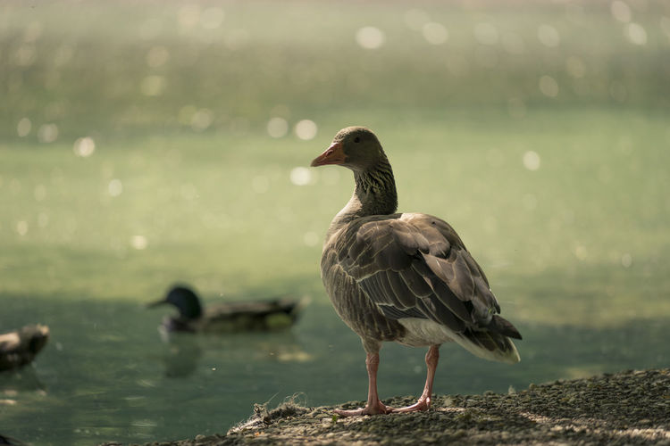 Am See  Animal Animal Themes Animals Beauty In Nature Bird Birds Day Focus On Foreground Gans Graugans Grey Goose Lake Lakeshore Nature Outdoors Selective Focus Tranquility Vogel Water Wildlife