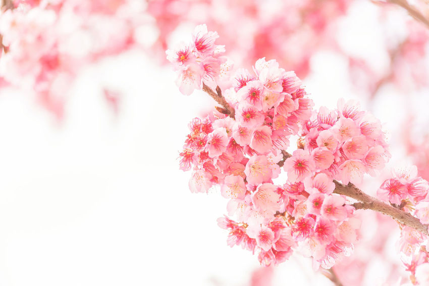Chiang Mai | Thailand Japan Ornamental Sakura Beauty In Nature Blooming Blossom Botany Branch Cherry Blossom Cherry Tree Close-up Flower Flower Head Fragility Freshness Growth Nature Oriental Outdoors Petal Pink Color Plum Blossom Springtime Tree