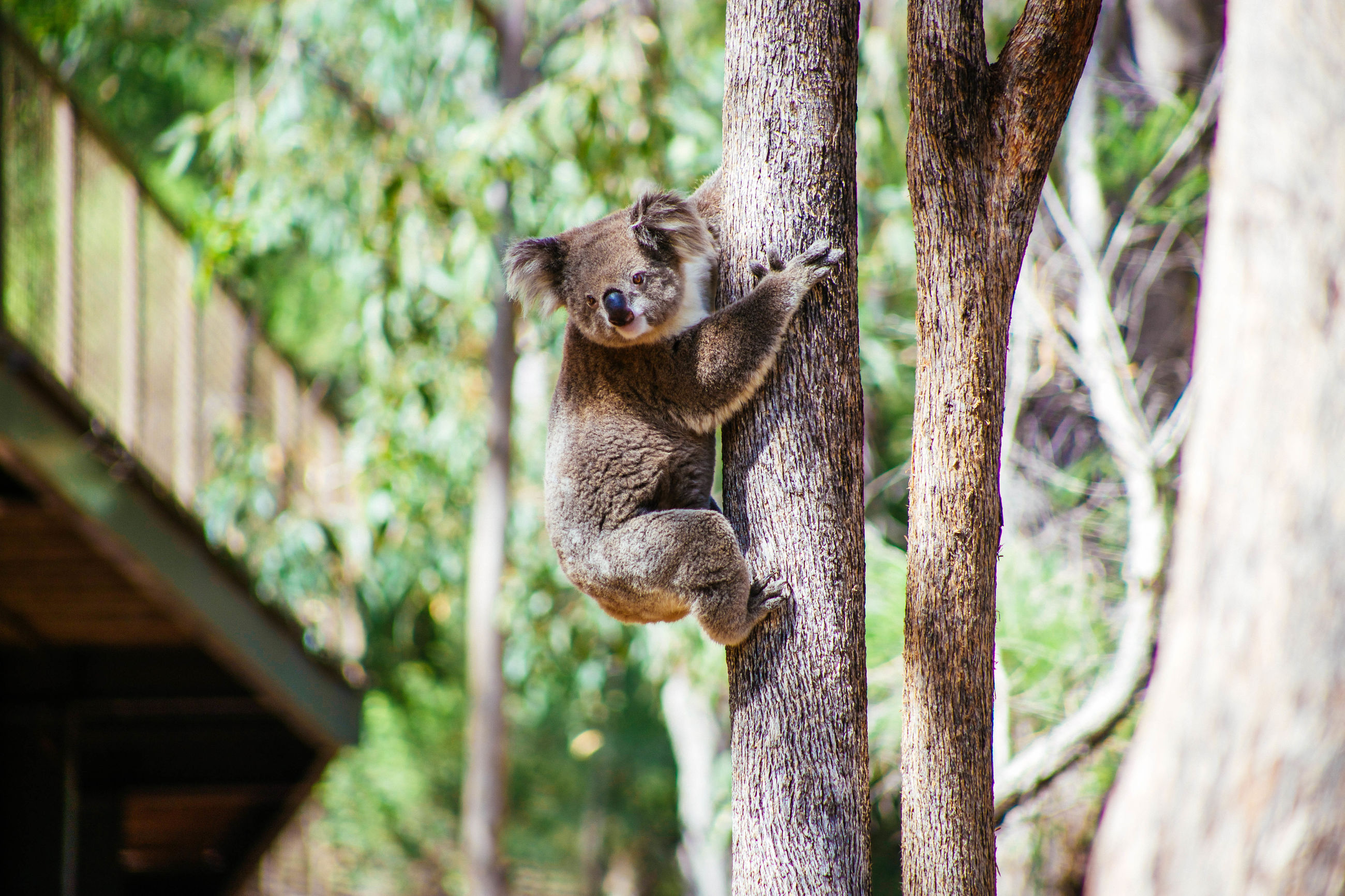 animal themes, one animal, animals in the wild, tree, wildlife, focus on foreground, mammal, tree trunk, nature, branch, close-up, day, outdoors, selective focus, looking at camera, squirrel, no people, growth, fence, portrait