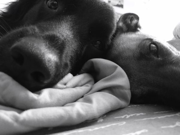 nuf nuf Dog Pets Animal Themes Friendship Close-up Black And White Dog❤ The Street Photographer - 2017 EyeEm Awards Huaweiphotography Huawei P10 Plus Photo♡ Huawei Shots Photography Themes HUAWEIP10 Leica Israel Live For The Story Israel_best No People Bed Thearchitect Eyeemawards2017 EyeEm Challenge Dogs Of EyeEm EyeEmNewHere Pet Portraits Dogs