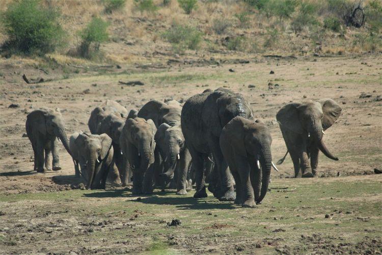 Pilansberg National Park Elephants Safari Adventure Herd Of Elephants Elephant ♥ African Elephant South Africa Walking On Their Way Thirsty