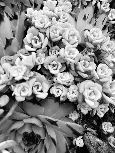 Tiny roses Succulant Gresham Oregon Beauty In Nature Eyem Best Shots IPhoneography Silver Color Miniature Groundcover Bunching Plant Growth Abundance Day No People Freshness Flower Beauty In Nature Close-up High Angle View Full Frame Nature Large Group Of Objects Flowering Plant Backgrounds Inflorescence Outdoors Market Flower Head Variation