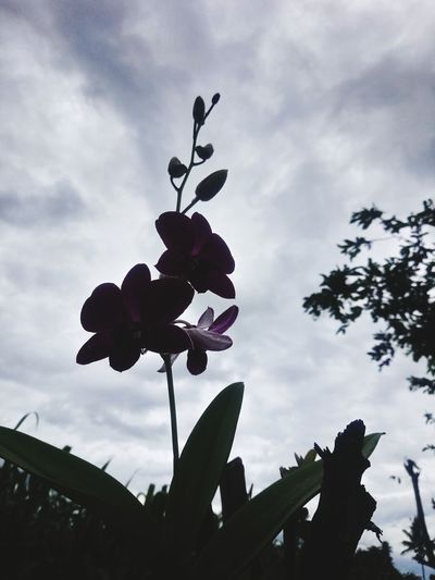 Orchid The