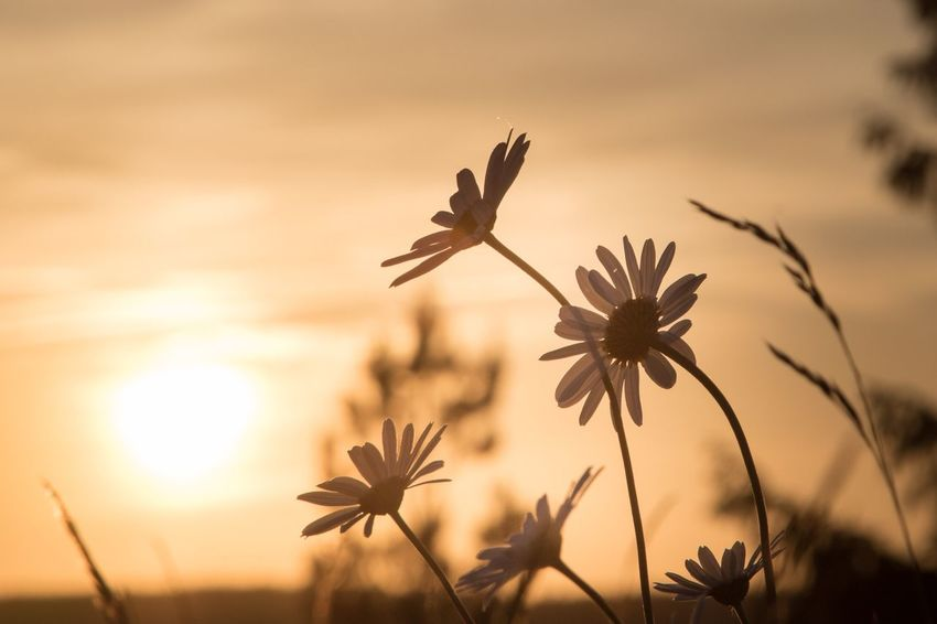 Flowers in evening light Eveningmood EyeEm Selects Sky Sunset Plant Beauty In Nature Flowering Plant Growth Flower Nature Focus On Foreground Sunlight No People Silhouette Scenics - Nature Close-up Sun Cloud - Sky