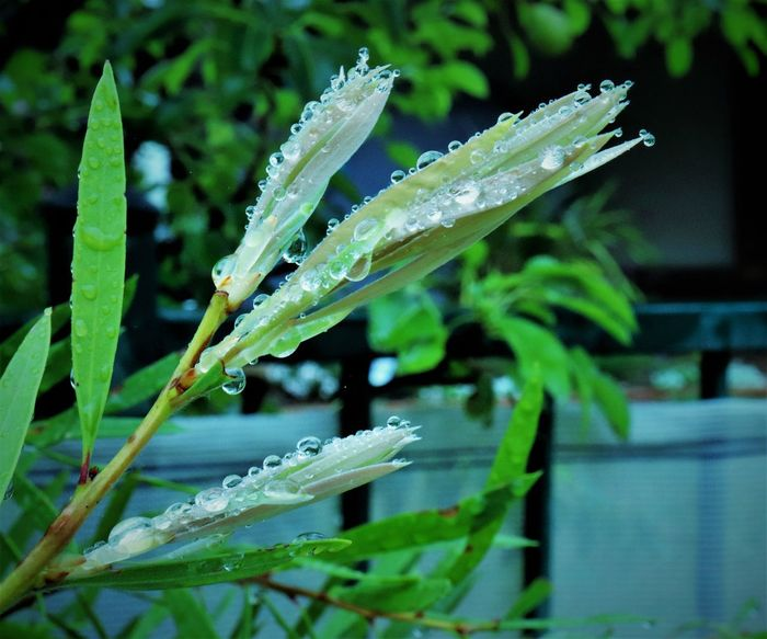 bubbly raindrops Bubbly Freshness Beauty In Nature Close-up Day Drop Focus On Foreground Fragility Freshness Green Color Green Nature Growth Leaf Nature No People Outdoors Plant RainDrop Raindrops On Leaves Water Waterfront Wet