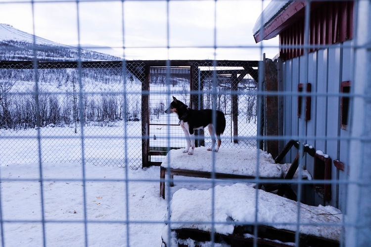 Dog Dog Sledding Fance Husky Karhuniemi Kennel Snow Winter