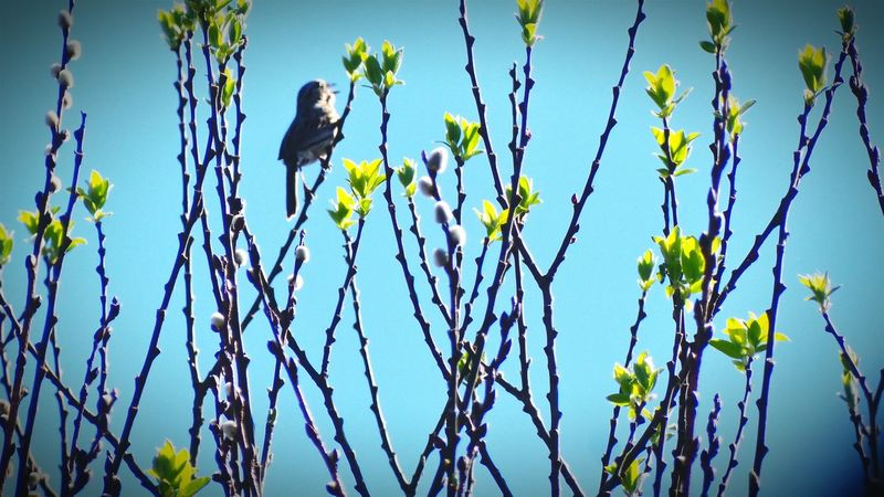 Lemon Lime By Motorola Bird Singing Silhouettes New Growth Sky And Tree Tree Buds Nature Wildlife Shades Of Green  Birdwatching