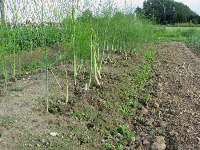 Asparagus shoot just before becoming woody in the garden in Tuscany, Italy Agriculture Array Asparagus Asparagus Plant Biological Cultivated Diet Earth Field Garden Green Greenery Healthy Humus Ingredient Leaf Organic Plant Rows Season  Series Vegan Vegetable Vegetarian Food Vitamin